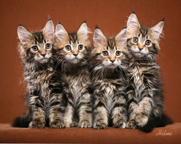 10 Beautiful Photos of Maine Coon Kittens