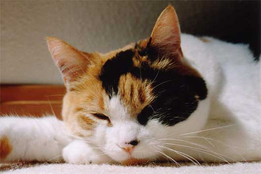 Calico cat being lazy