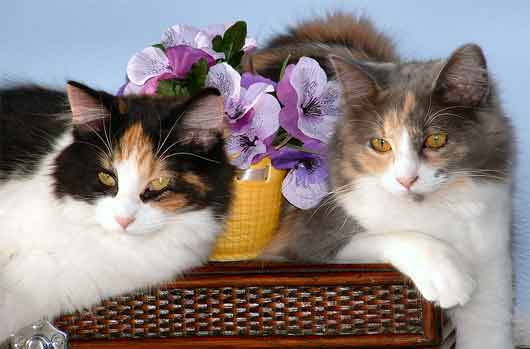 Calico cats sitting together