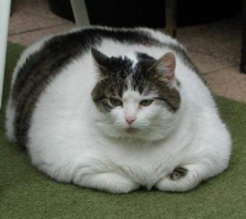 fat lazy cat
