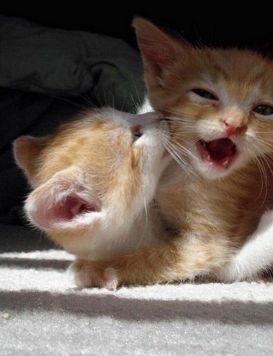 Two Cute Kittens Wrestle