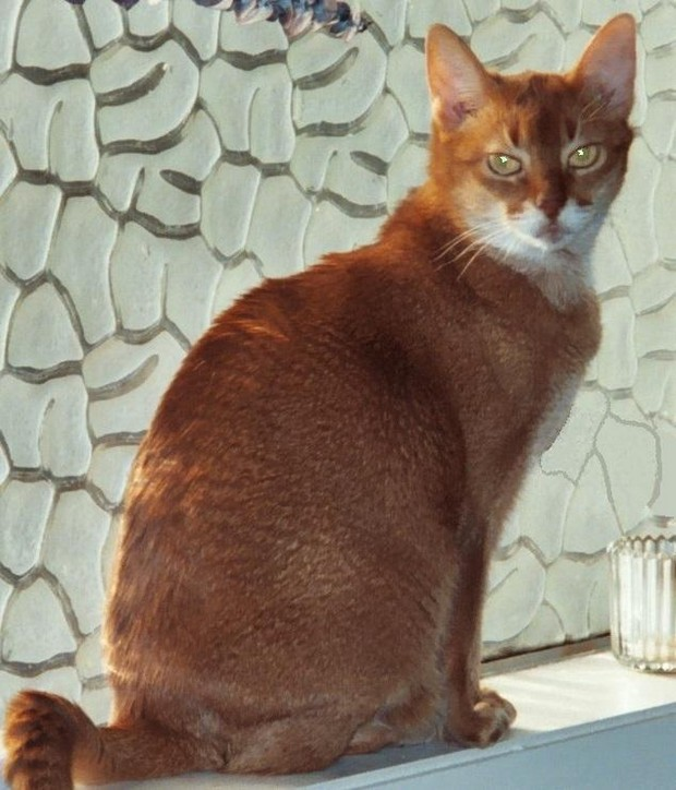 Abyssinian cat training