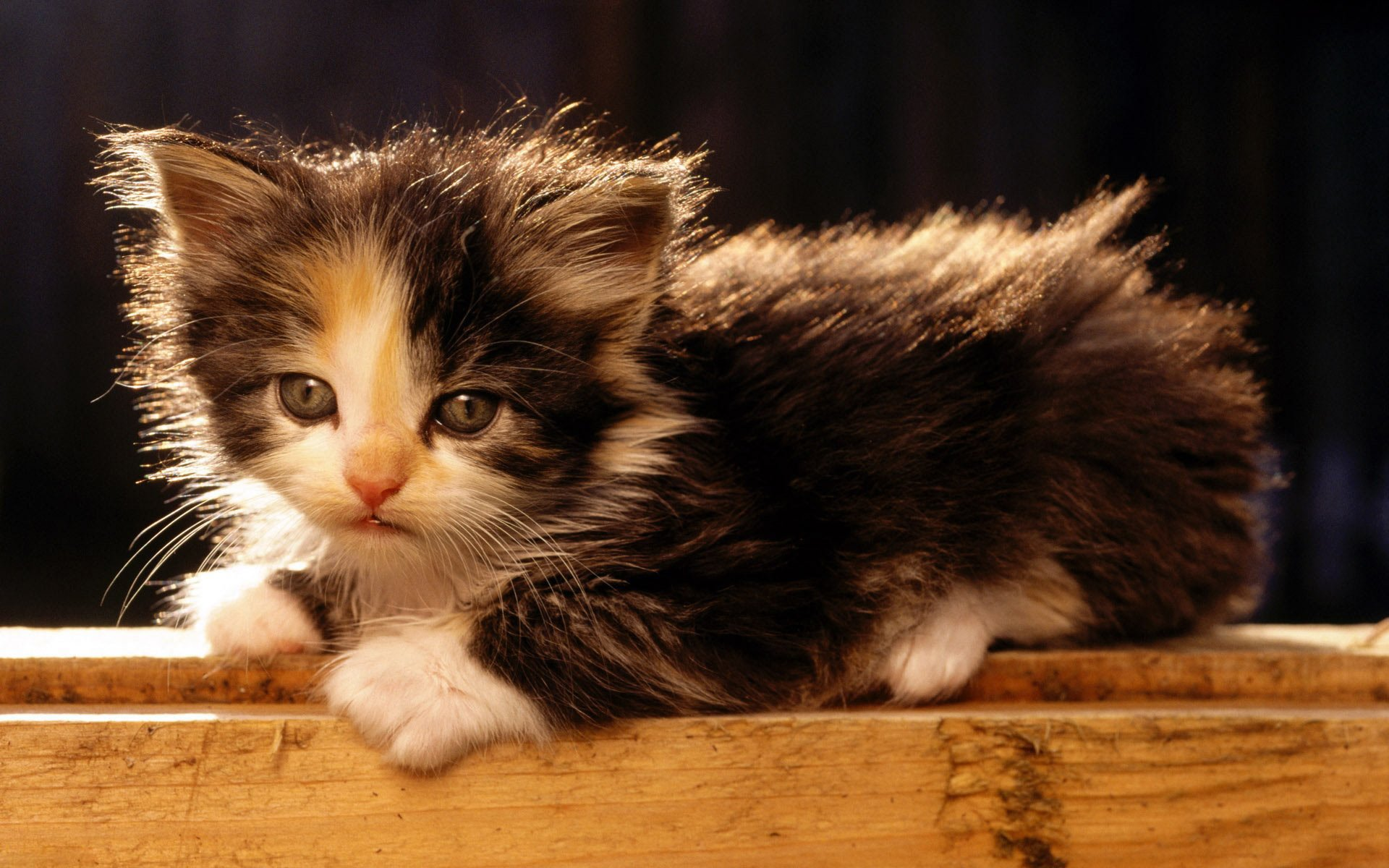 An Adorable American Bobtail Kitten