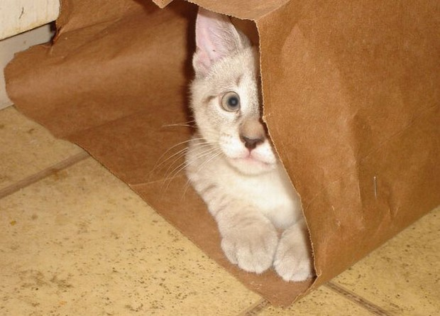 Cats Who Love to Play in Bags