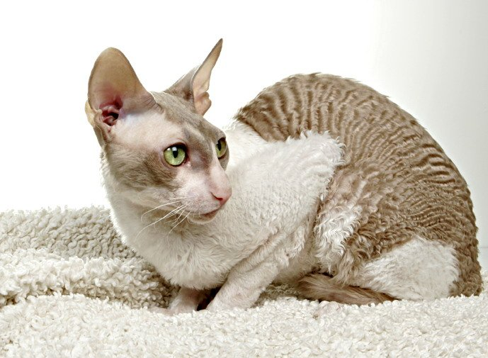12 Cat Breeds That Many People Aren't Aware Of