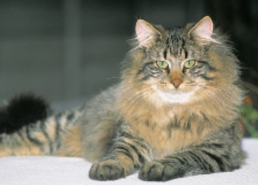 Norwegian Forest Cat 1