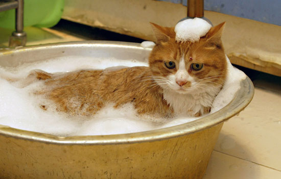 Eleven Important Tips on Bathing Your Cat