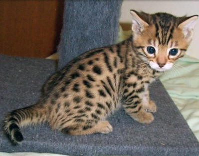 The Top 10 Most Popular Cat Breeds in the United States