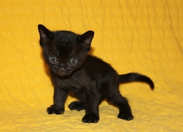 Cat Breed of the Day:  The Bombay