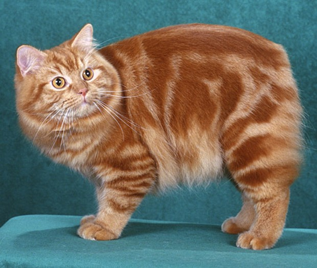 Cat Breed of the Day:  The Cymric