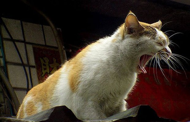 Seven Cat Sounds and What They Mean