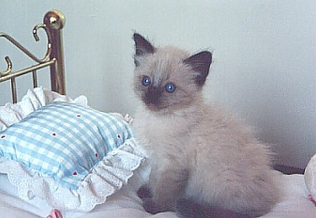 Balinese Kittens For Sale Ny