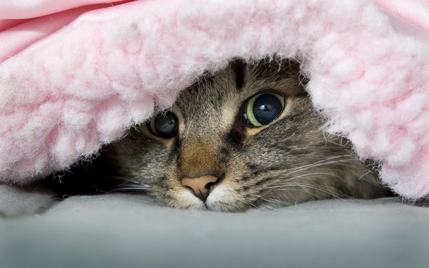A Gallery of Cats Snuggling in Blankets