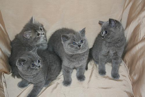 Ten Great Cat Breeds for Children