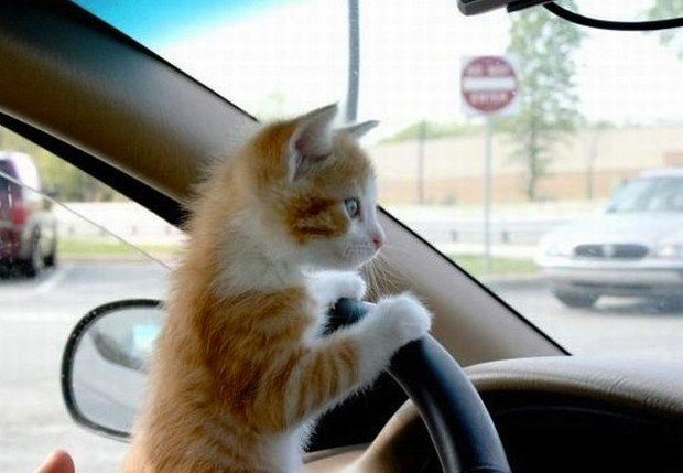 Cute Pictures of Cats that Think They're Driving