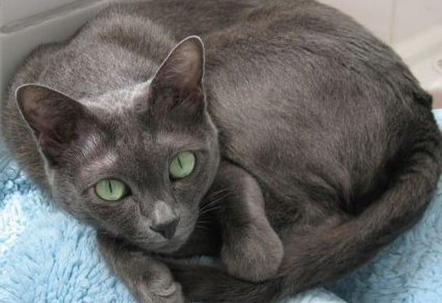 Cat Breed of the Day:  Korat