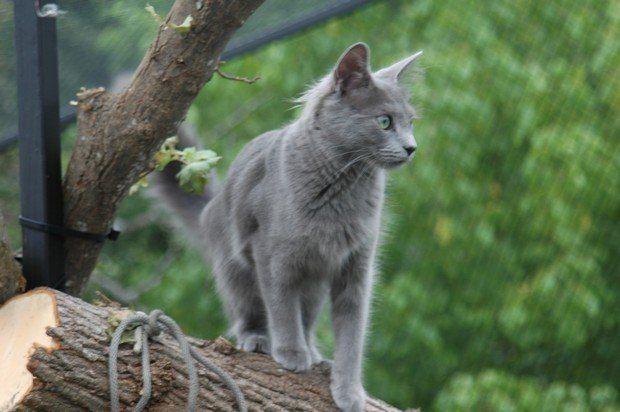 Black And Reddish Chartreux Cat