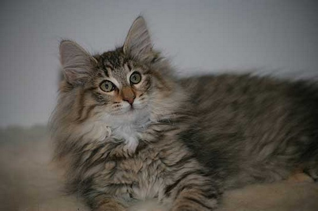 Cat Breed of the Day:  Norwegian Forest Cat
