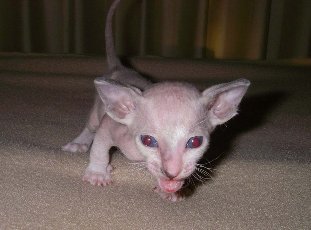 Cat Breed of the Day:  The Peterbald