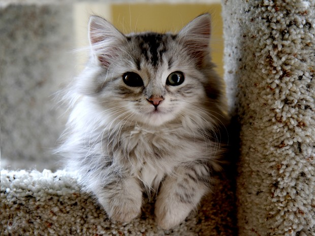 Cat Breed of the Day: Siberian