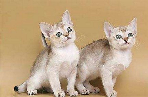 Cat Breed Of The Day Singapura