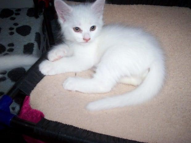 Cat Breed of the Day:  Turkish Angora