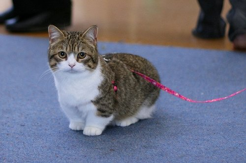 The 10 Smallest Cat Breeds in the World
