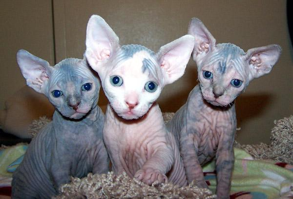 Things to Consider Before Become a Sphynx Cat Breeder-Kittentoob