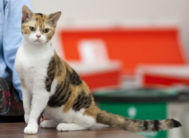 Cat Breed of the Day:  American Wirehair