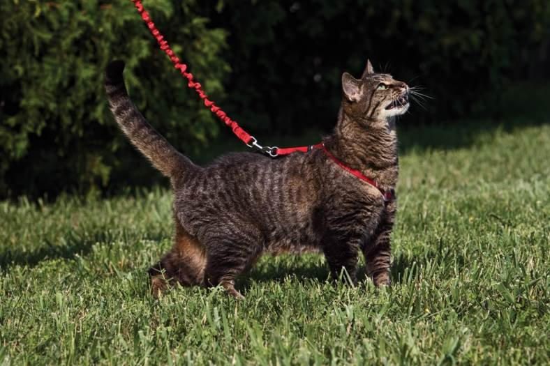 12 Steps to Training Your Cat to Walk with a Leash