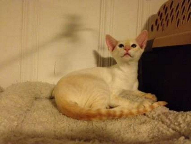 Cat Breed of the Day:  Colorpoint Shorthair