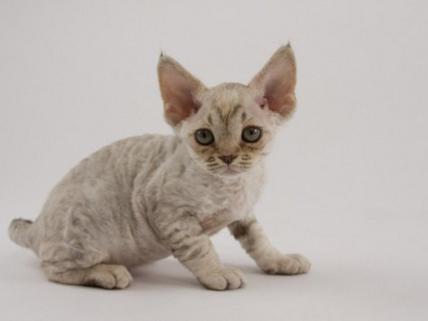 Cat Breed of the Day:  Devonshire Rex