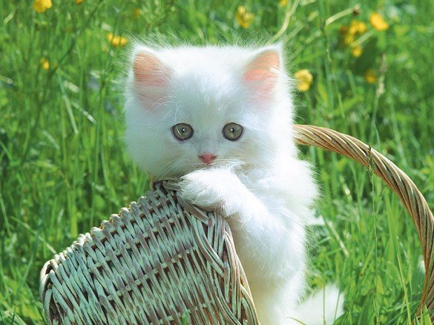 Cat Breed of the Day:  Gato