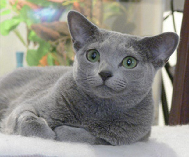 British Blue Cat For Sale Adelaide