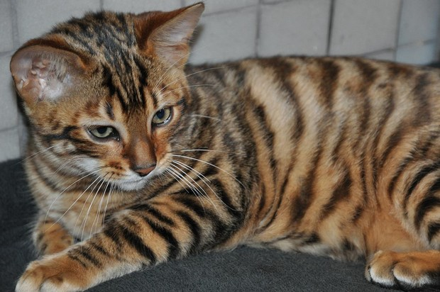 Cat Breed of the Day:  Toyger