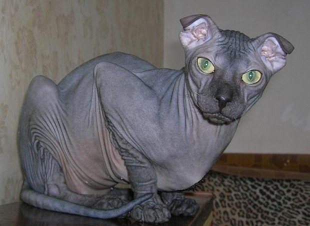 Why Are There Hairless Cats But Not Hairless Dogs