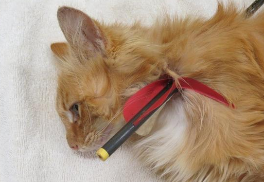 $5000 Reward Offered in Cat Shot With Arrow Case