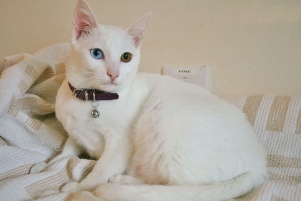 Cat Breed of the Day:  Khao Manee