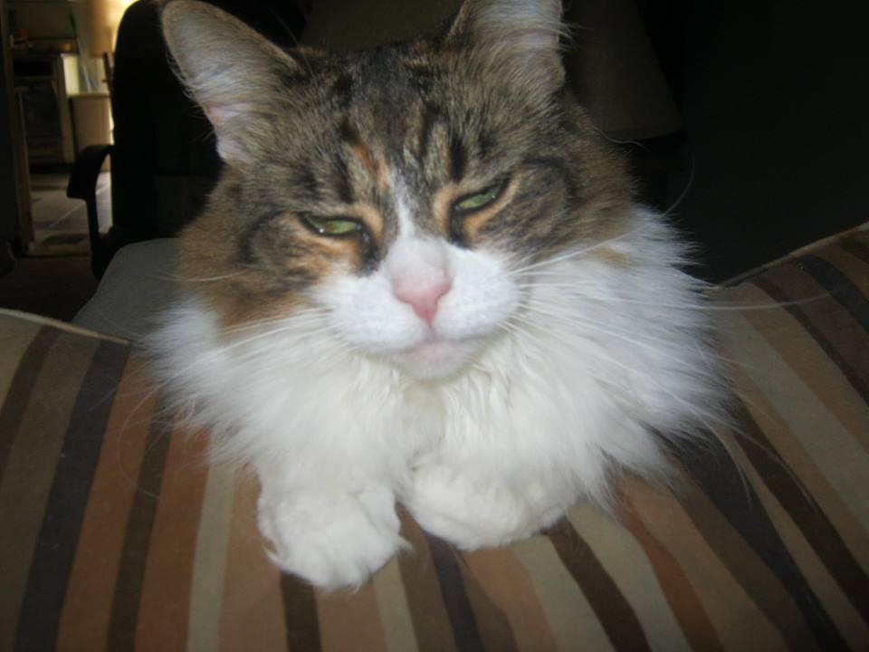 Cat of the Day:  Mush Mush the Maine Coon