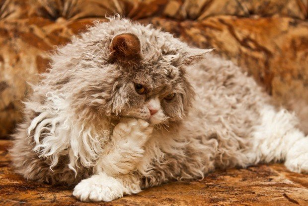 Cat Breed of the Day:  Selkirk Rex