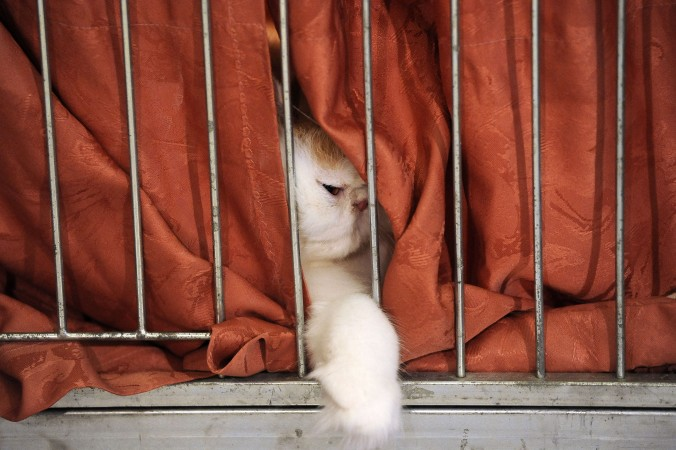 Cat Smugglers are Caught in Thailand
