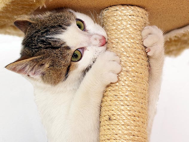 Quick Cat Tip of the Day:  Even a Declawed Cat Can Enjoy Scratching