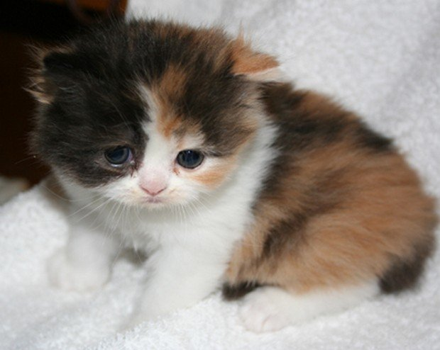 Calico Ragdoll Cat For Sale