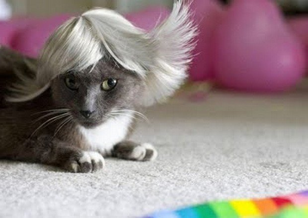 A Funny Gallery of Cats Wearing Wigs