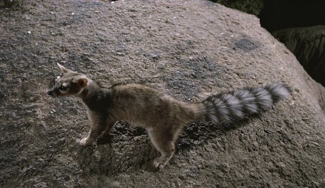 A Rare Ring-Tailed Cat was Spotted in San Antonio