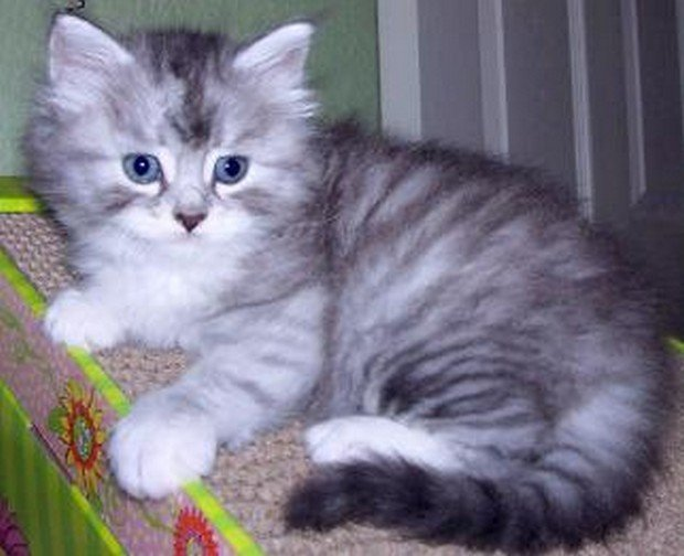 Cute Pictures Of Siberian Kittens