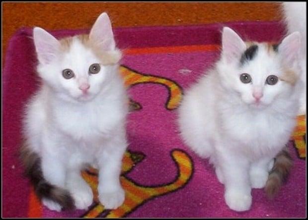 A Gallery of Turkish Van Kittens