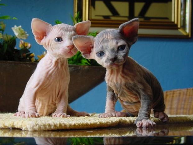 A Gallery of Ukrainian Levkoy Kittens