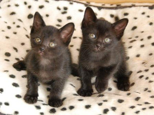 A Cute Gallery Of Bombay Kittens