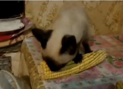Cat Video of the Day:  Cute Cat Loves to Eat Corn